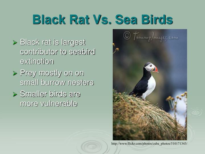 Black Rat Vs. Sea Birds