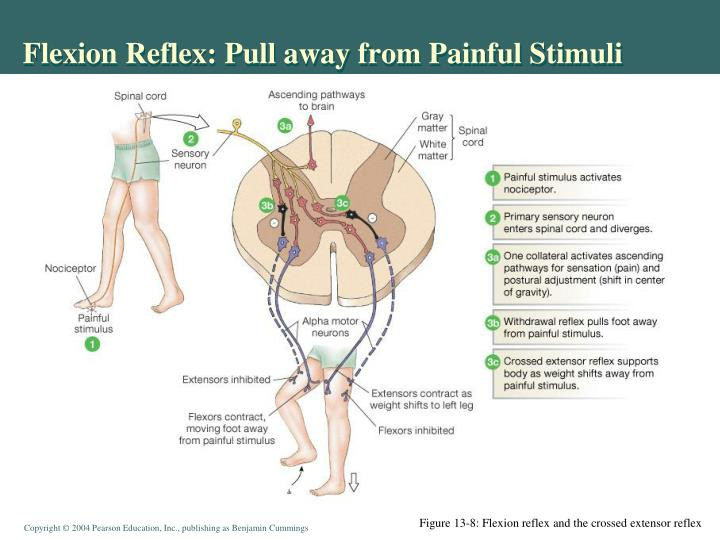 Flexion Reflex: Pull away from Painful Stimuli