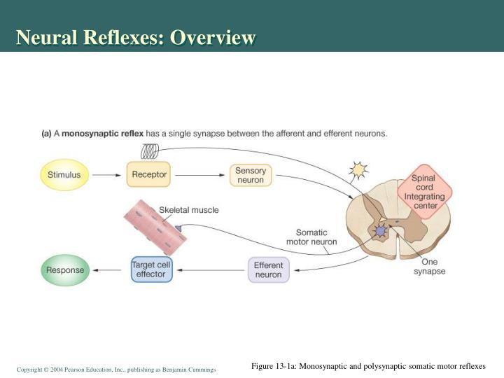 Neural Reflexes: Overview