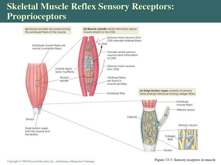 Skeletal Muscle Reflex Sensory Receptors: Proprioceptors