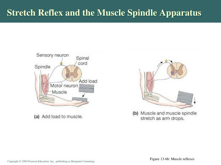 Stretch Reflex and the Muscle Spindle Apparatus