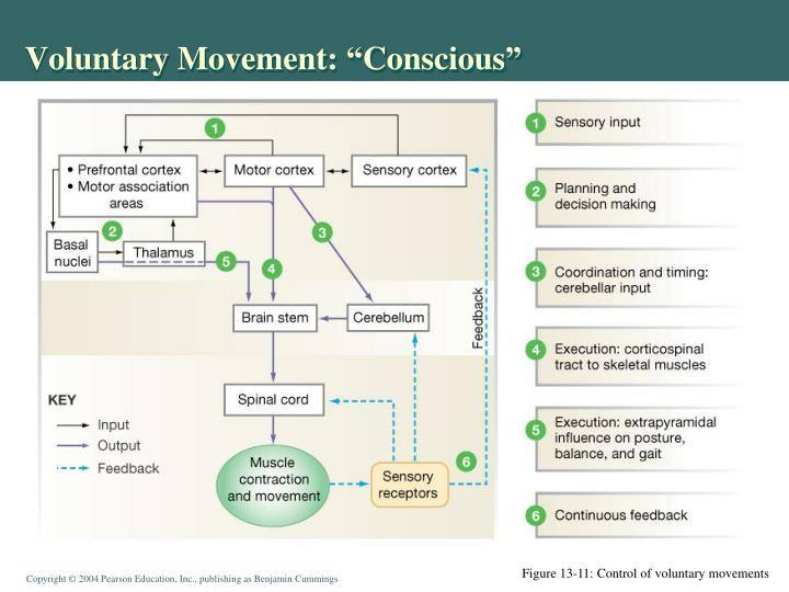"Voluntary Movement: ""Conscious"""