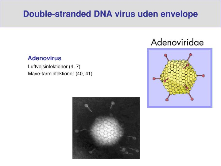Double-stranded DNA virus uden envelope