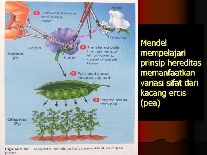 Mendel mempelajari prinsip hereditas memanfaatkan variasi sifat dari kacang ercis (pea)