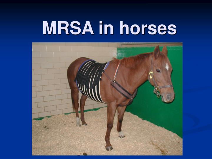 MRSA in horses