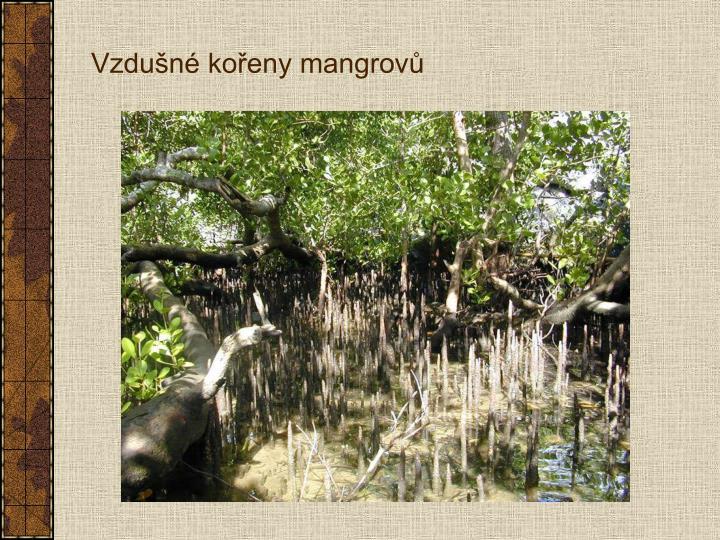 Vzdušné kořeny mangrovů