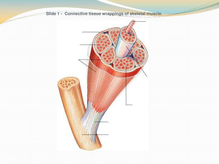 Slide 1 -  Connective tissue wrappings of skeletal muscle.
