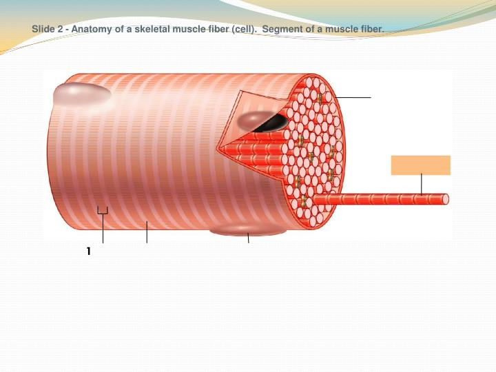 Slide 2 - Anatomy of a skeletal muscle fiber (cell).  Segment of a muscle fiber