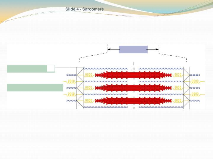 Slide 4 - Sarcomere