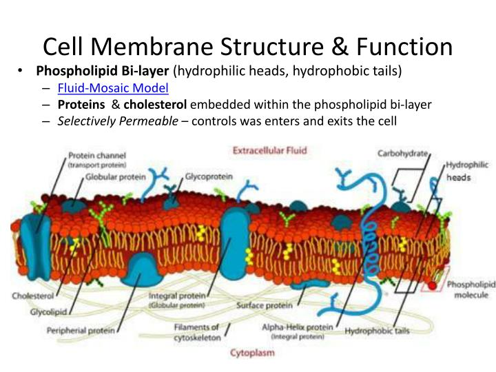 membrane structure and function lab report Unit 8 cell membrane structure and function  finish cells lab  procedures, logbooks & go over final steps of report, begin cell membrane structure.