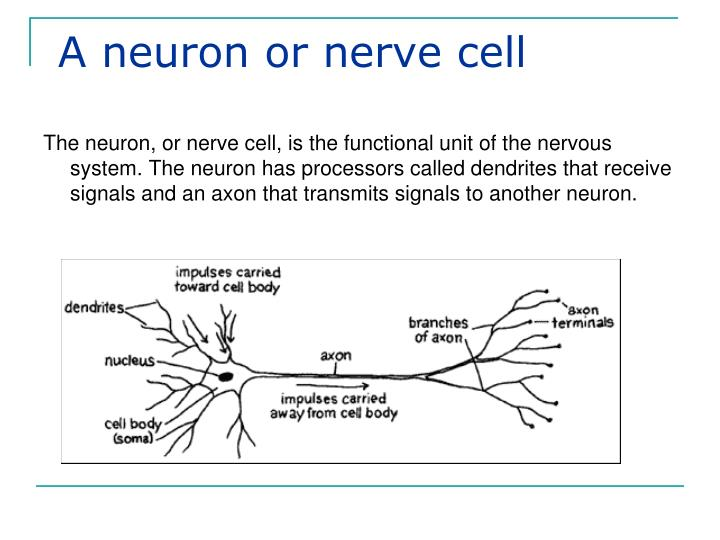 A neuron or nerve cell