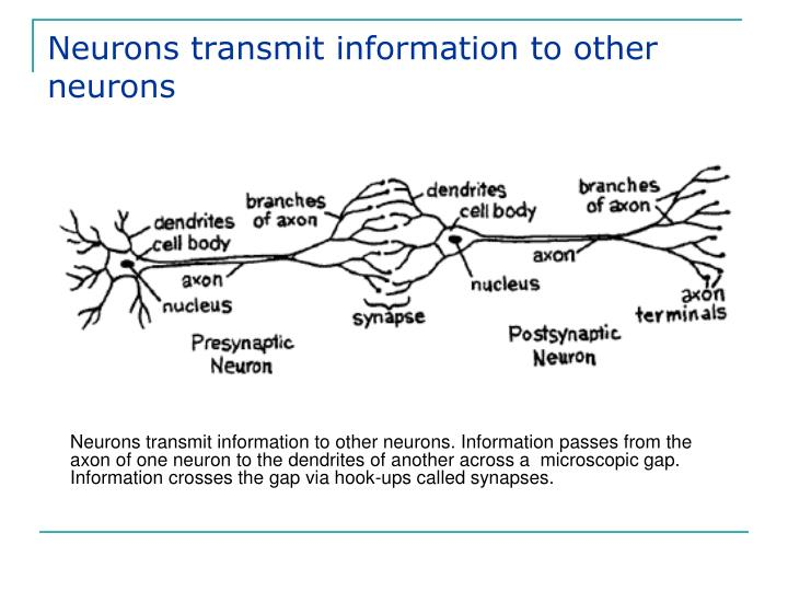 Neurons transmit information to other neurons
