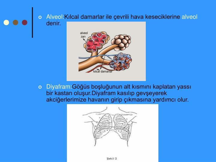 Alveol: