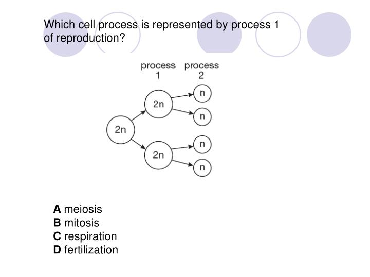Which cell process is represented by process 1