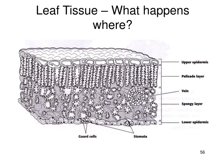 Leaf Tissue – What happens where?