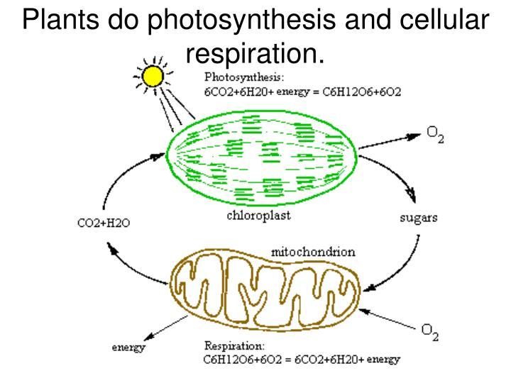 Plants do photosynthesis and cellular respiration.