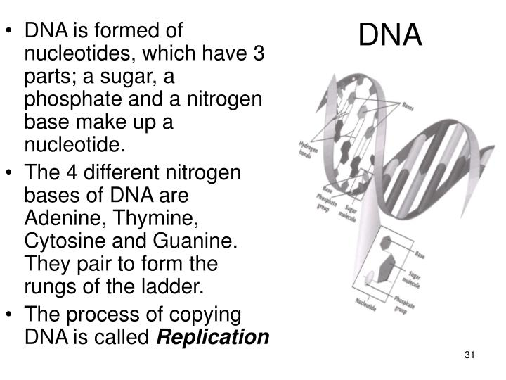 DNA is formed of nucleotides, which have 3 parts; a sugar, a phosphate and a nitrogen base make up a nucleotide.