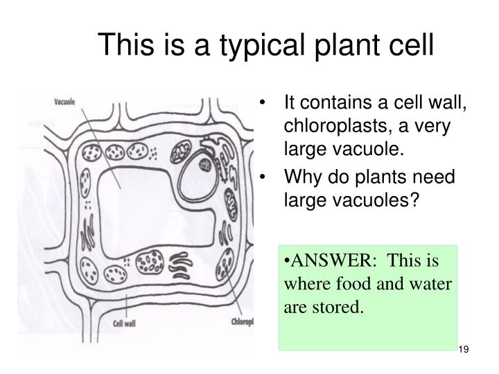This is a typical plant cell