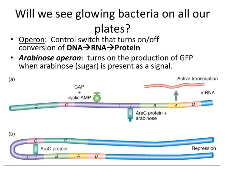Will we see glowing bacteria on all our plates?
