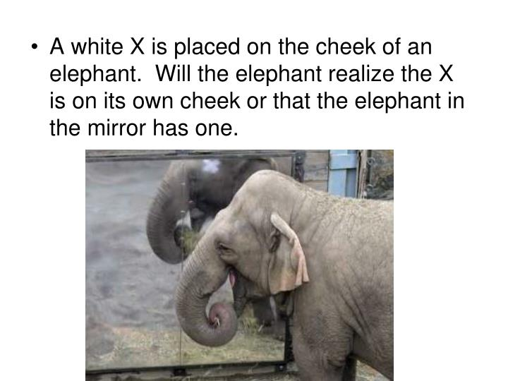A white X is placed on the cheek of an elephant.  Will the elephant realize the X is on its own cheek or that the elephant in the mirror has one.