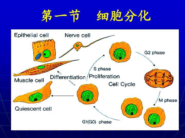 第一节  细胞分化