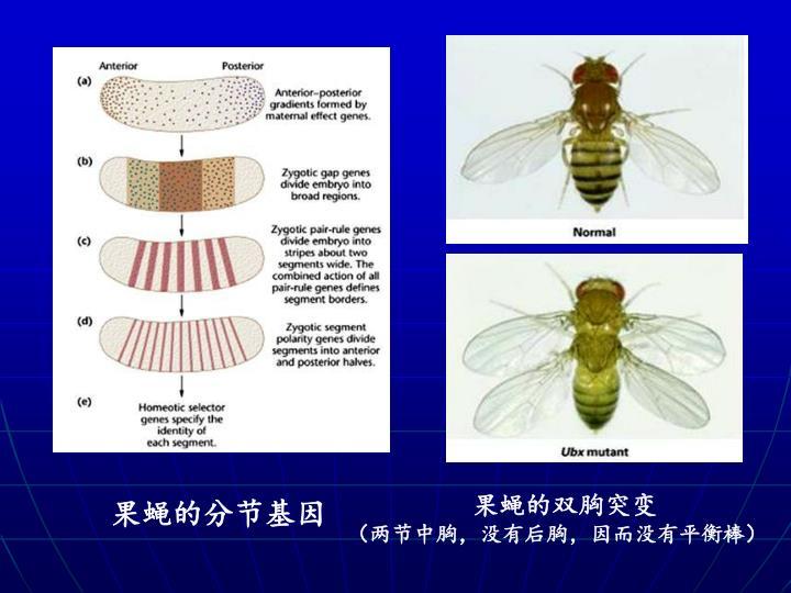 果蝇的双胸突变
