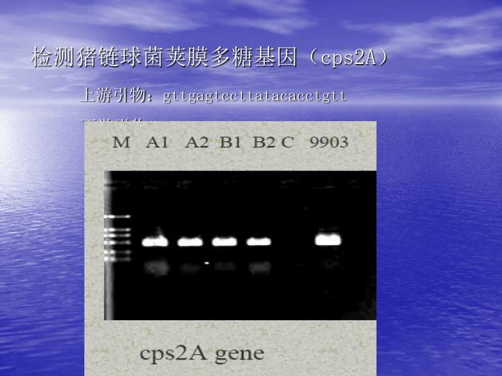 检测猪链球菌荚膜多糖基因(