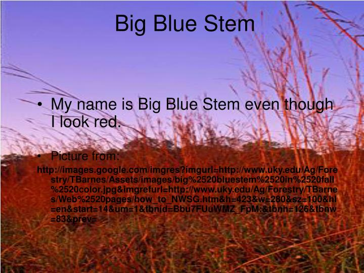 Big Blue Stem