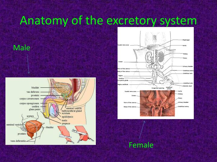 Anatomy of the excretory system