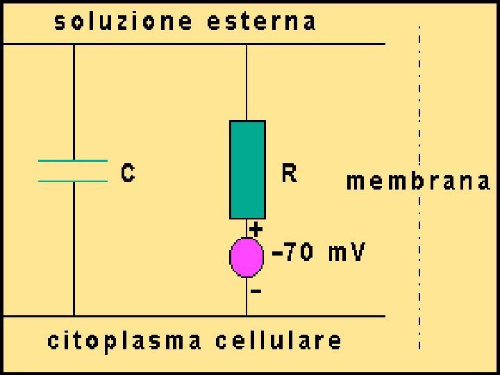 La membrana cellulare separando cariche elettriche