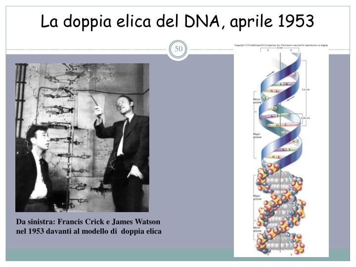La doppia elica del DNA, aprile 1953