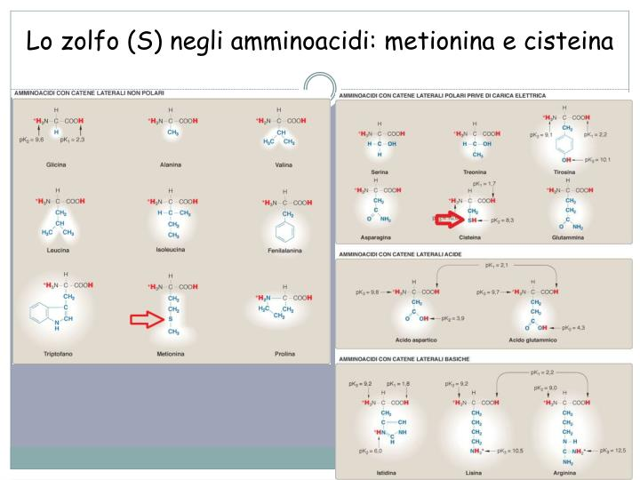 Lo zolfo (S) negli amminoacidi: metionina e cisteina