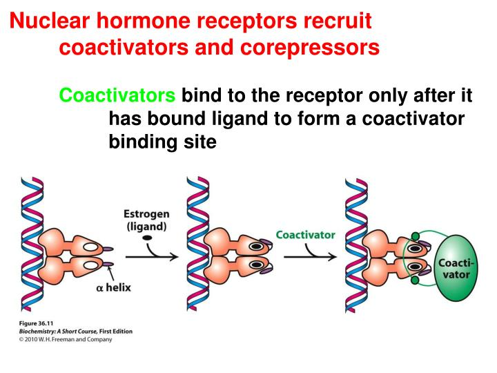 Nuclear hormone receptors recruit 	coactivators and corepressors