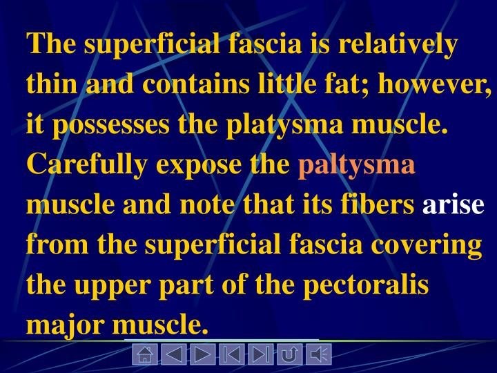 The superficial fascia is relatively thin and contains little fat; however, it possesses the platysma muscle. Carefully expose the