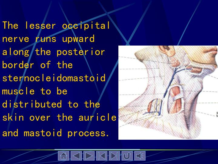 The lesser occipital nerve runs upward along the posterior border of the sternocleidomastoid muscle to be distributed to the skin over the auricle and mastoid process