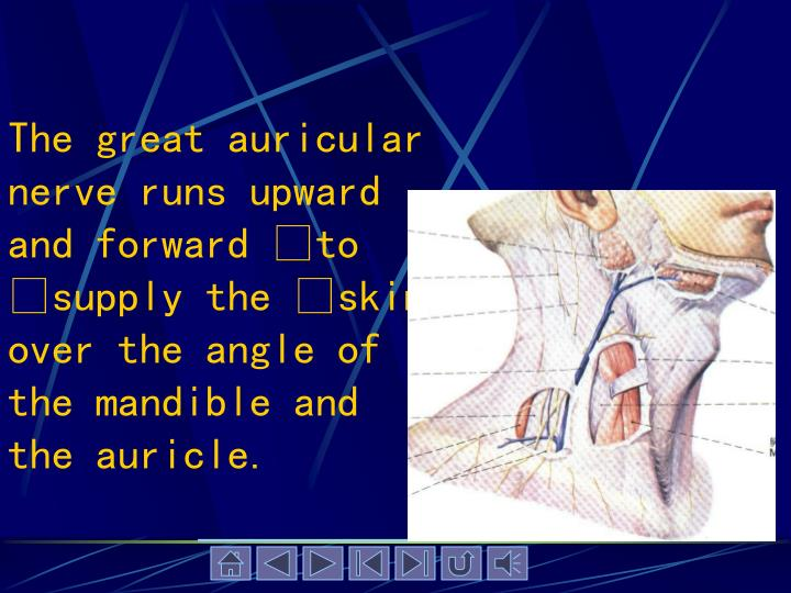 The great auricular nerve runs upward and forward to supply the skin over the angle of the mandible and the auricle.