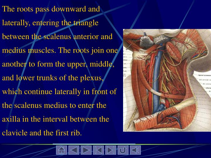 The roots pass downward and laterally, entering the triangle between the scalenus anterior and medius muscles. The roots join one another to form the upper, middle, and lower trunks of the plexus, which continue laterally in front of the scalenus medius to enter the axilla in the interval between the clavicle and the first rib.