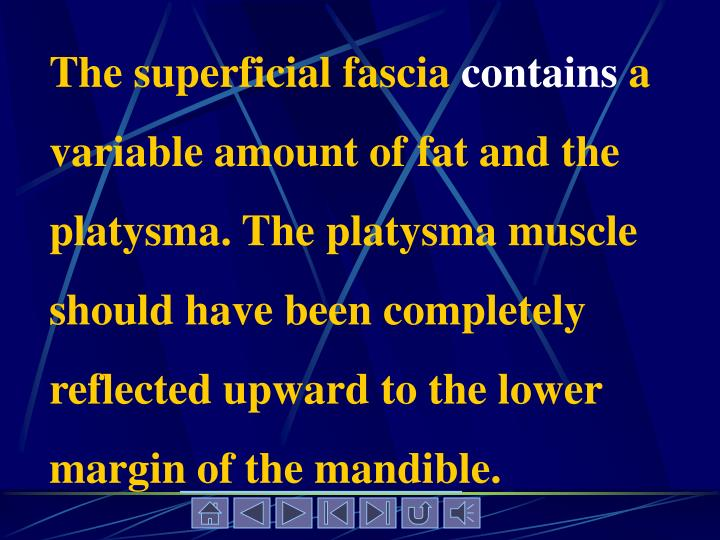The superficial fascia