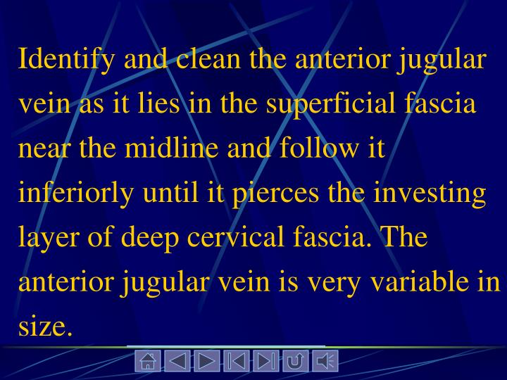 Identify and clean the anterior jugular vein as it lies in the superficial fascia near the midline and follow it inferiorly until it pierces the investing layer of deep cervical fascia. The anterior jugular vein is very variable in size.