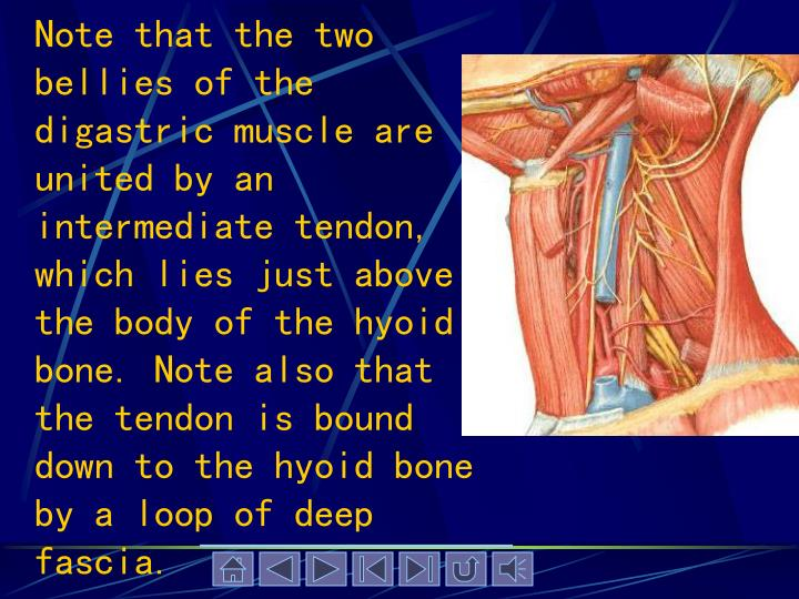 Note that the two bellies of the digastric muscle are united by an intermediate tendon, which lies just above the body of the hyoid bone. Note also that the tendon is bound down to the hyoid bone by a loop of deep fascia.