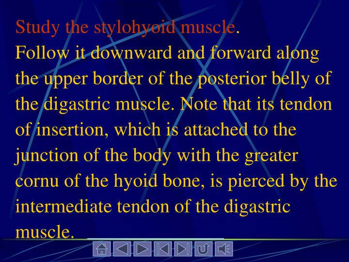 Study the stylohyoid muscle