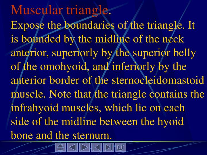 Muscular triangle