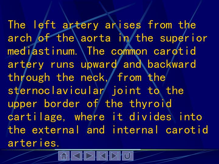 The left artery arises from the arch of the aorta in the superior mediastinum. The common carotid artery runs upward and backward through the neck, from the sternoclavicular joint to the upper border of the thyroid cartilage, where it divides into the external and internal carotid arteries.
