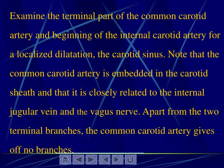Examine the terminal part of the common carotid artery and beginning of the internal carotid artery for a localized dilatation, the carotid sinus. Note that the common carotid artery is embedded in the carotid sheath and that it is closely related to the internal jugular vein and