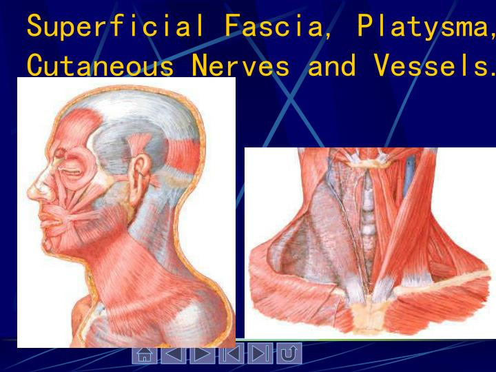 Superficial Fascia, Platysma, Cutaneous Nerves and Vessels.