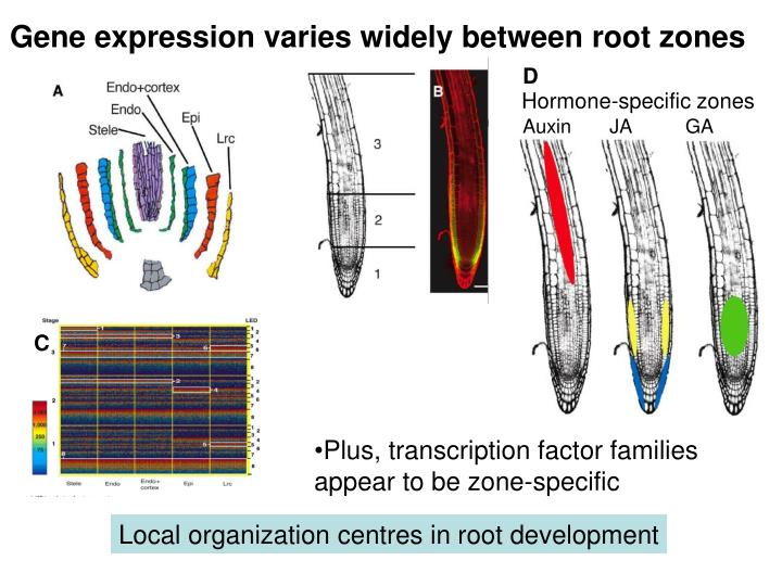 Gene expression varies widely between root zones