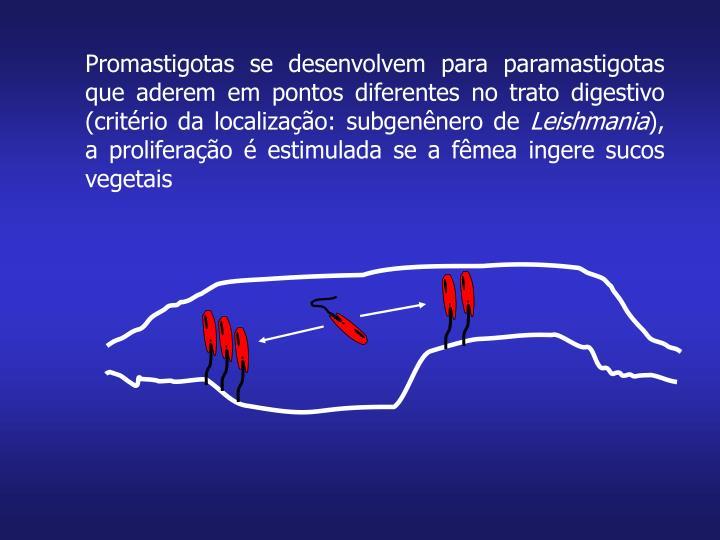 Promastigotas se desenvolvem para paramastigotas que aderem em pontos diferentes no trato digestivo (critério da localização: subgenênero de