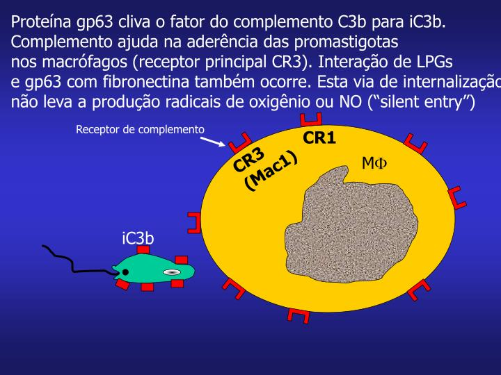 Proteína gp63 cliva o fator do complemento C3b para iC3b.