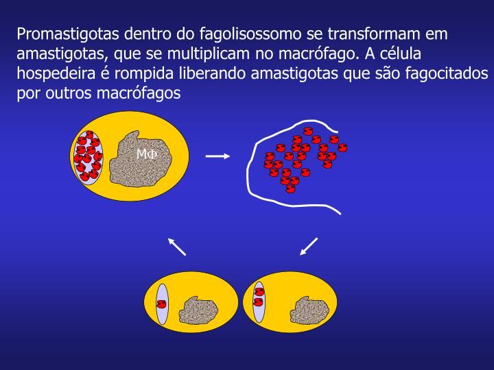 Promastigotas dentro do fagolisossomo se transformam em