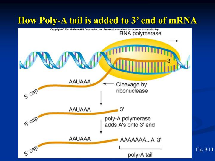 How Poly-A tail is added to 3' end of mRNA